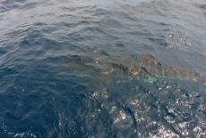 Whale Shark  USS Mohawk
