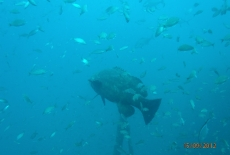 Goliath Grouper with bait  BY: Cheryl McWilliams