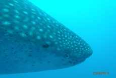Whale Shark  BY: Cheryl McWilliams